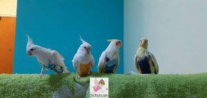 Four Cockatiels Wearing Bird Diaper Flight Suits