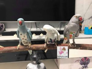 Indian Ringneck Parrots Wearing Bird Diaper Flight Suits