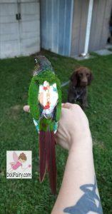 Birch Green Cheek Conure Bird Diaper Flight Suit