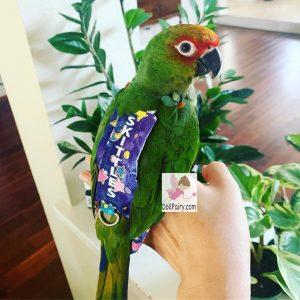 Skittles Golden Cap Conure Bird Diaper Flight Suit