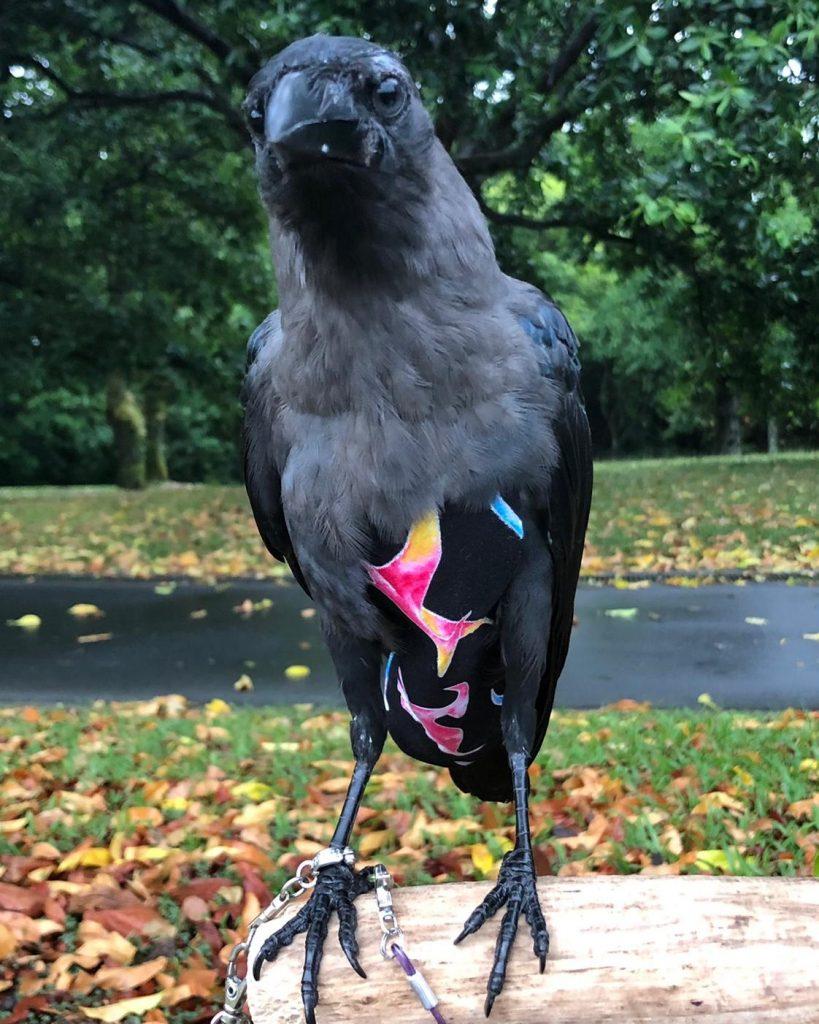 Crow Wearing Bird Diaper Suit